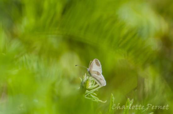 papillon dans la verdure