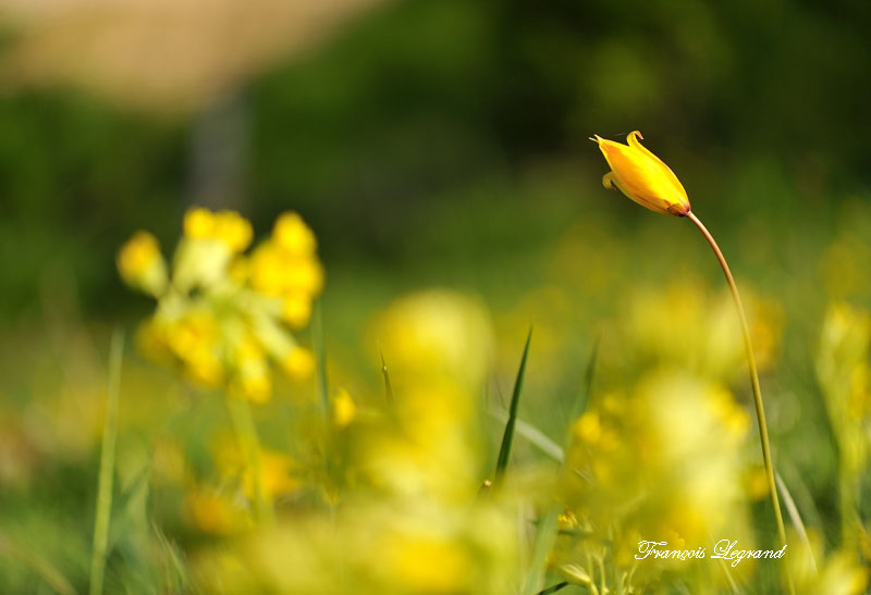 11998 tulipe des vignes