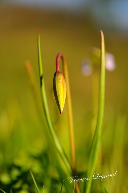 15708-tulipe-de-vigne-en-bouton.jpg