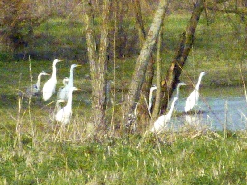 herons-aigrettes-web.jpg