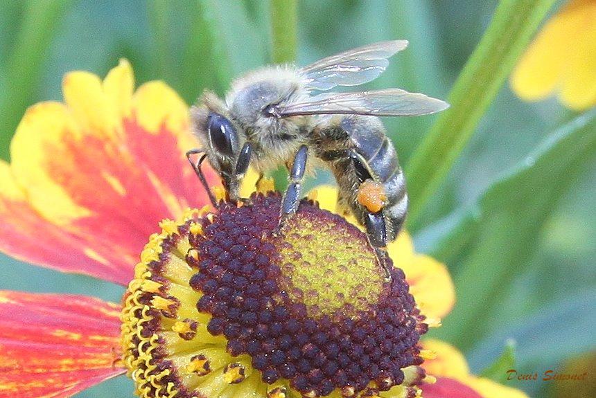 n-3-abeille-en-serbie.jpg