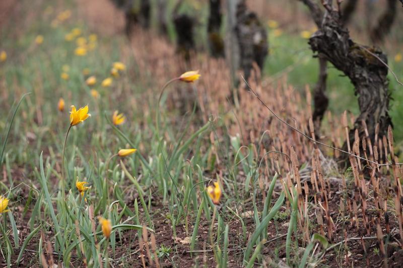 tulipe-sauvage-032-1.jpg